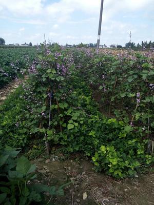 江苏盐城紫扁豆 3cm以上 10cm以上