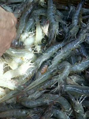 这是一张关于白虾的产品图片