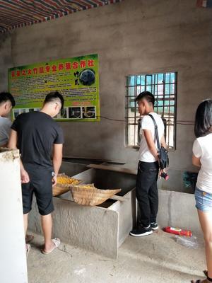 广西桂林中华竹鼠 1斤以下