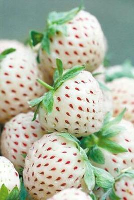 这是一张关于白雪公主草莓苗 10公分以下 地栽苗的产品图片
