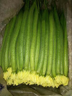 山东潍坊中绿丝瓜 40cm以上