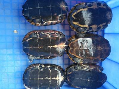 广东东莞中华草龟 20-30cm 2-4斤