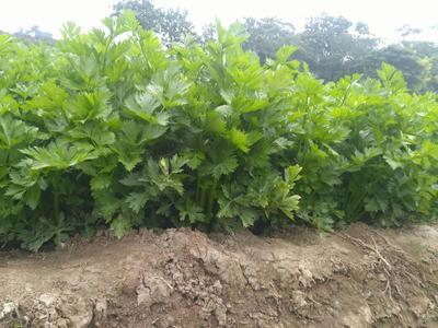 陕西省西安市临潼区加州王芹菜 50~55cm 露天种植 0.5~1.0斤