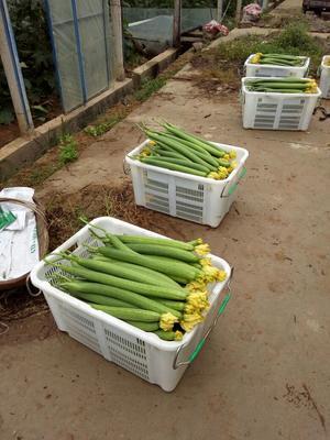 四川省攀枝花市米易县鲜花丝瓜 35cm以上