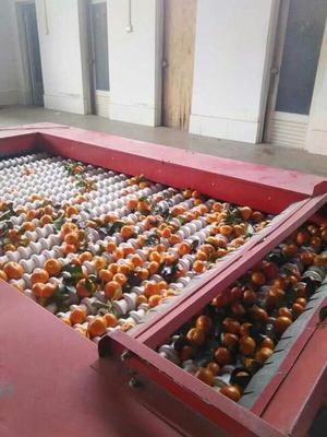 广西梧州沙糖桔 3 - 3.5cm 1 - 1.5两