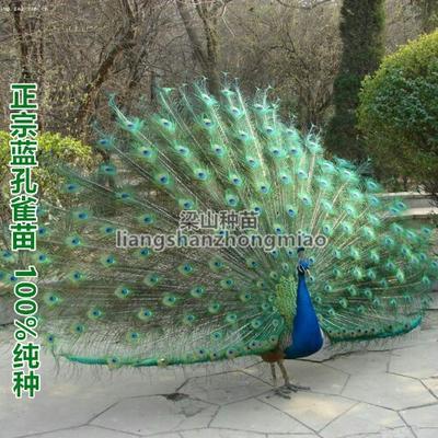 广西南宁蓝孔雀苗 纯种正苗