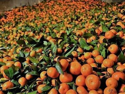 这是一张关于南丰蜜桔 3 - 3.5cm 1两以下的产品图片