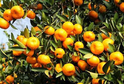 这是一张关于南丰蜜桔 3.5 - 4cm 1.5 - 2两的产品图片