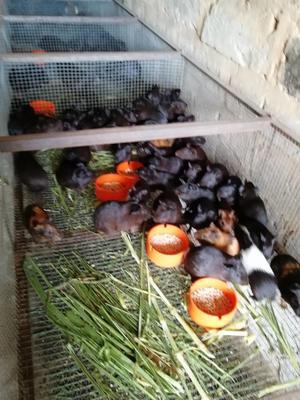 这是一张关于豚鼠的产品图片