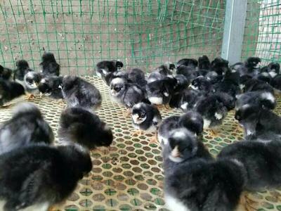 这是一张关于芦花鸡苗的产品图片