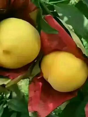 陕西咸阳黄金黄桃 70mm以上 4两以上