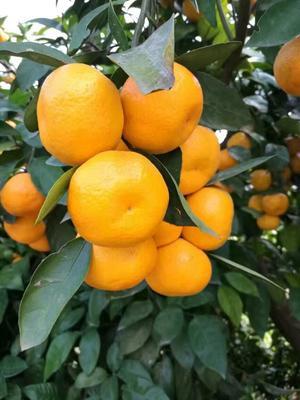这是一张关于宜昌蜜桔 6 - 6.5cm 2 - 3两 柑橘  蜜桔的产品图片