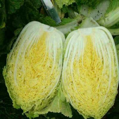 吉林省长春市农安县91-12白菜 3~6斤 净菜