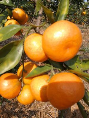 这是一张关于蜜桔 5.5 - 6cm 1.5 - 2两 柑桔 蜜桔。味甜。次果的产品图片