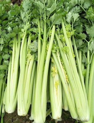 山东济南芹芽 55~60cm 0.5~1.0斤