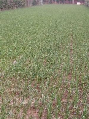 河南许昌红根蒜苗 60 - 70cm