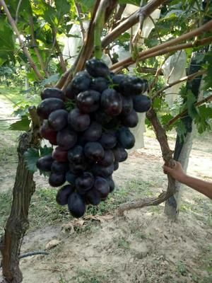 河南三门峡A17葡萄 1 - 2斤 5%以下