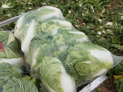 山西省晋中市太谷县秦白系列 3~6斤 二毛菜