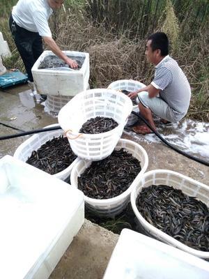 河南南阳台湾泥鳅苗