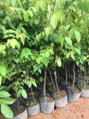 这是一张关于台湾甜杨桃树的产品图片