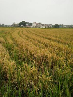 湖南株洲醴陵市丰两优再生二季米 绿色食品 晚稻 一等品