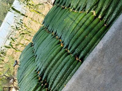 这是一张关于密刺黄瓜 18~22cm 鲜花带刺的产品图片