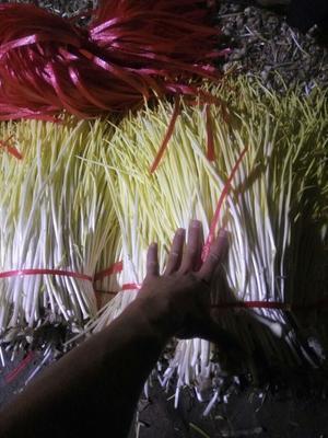 山东临沂四季蒜苗 50 - 60cm