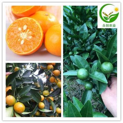 这是一张关于茂谷柑苗 嫁接苗 0.5~1米的产品图片