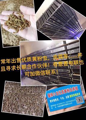 河南洛阳偃师市黄粉虫