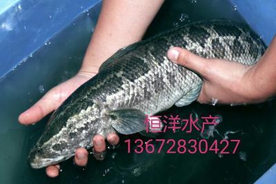 广东江门黑鱼苗