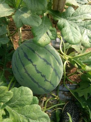 辽宁锦州凌海市京欣西瓜 10斤打底 1茬 8成熟 有籽