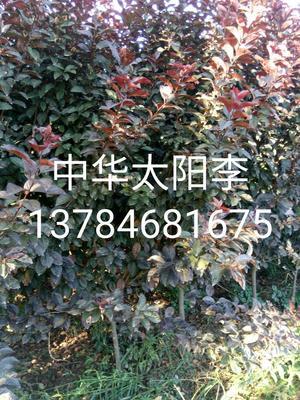 这是一张关于红叶李 中华太阳李的产品图片