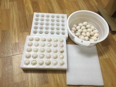 广西玉林白鸽蛋 散装 食用