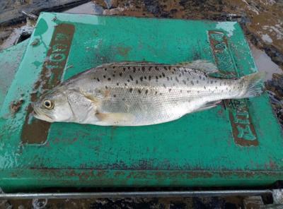 广东珠海海鲈鱼 人工养殖 0.5龙8国际官网官方网站以下