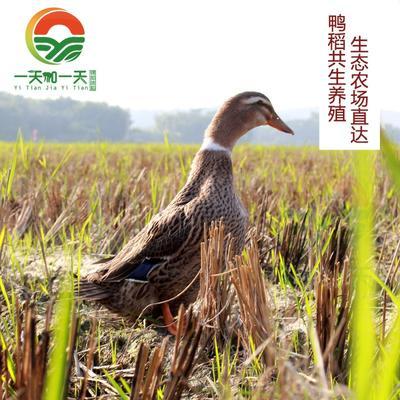 广东云浮麻鸭 4-5斤 统货 原生态放养,鸭稻共生养殖,低密度散养