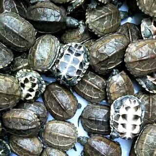 江苏无锡中华草龟 5-10cm 0.5斤以下