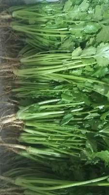 河南安阳大叶香菜 20~25cm