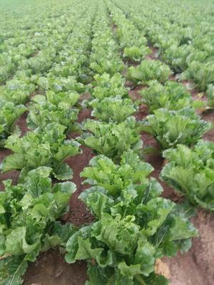 辽宁省葫芦岛市南票区东北大矮白菜 6~10斤 毛菜