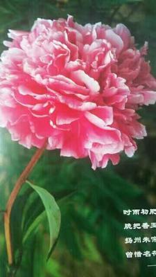 山东菏泽牡丹区多花芍药 0.5~1米 2cm以下