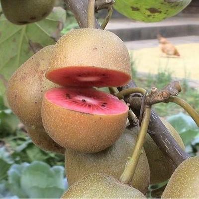 红阳猕猴桃苗 嫁接苗