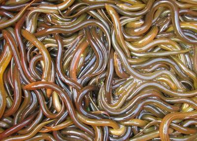 湖北恩施土黄泥鳅 野生 15cm以上