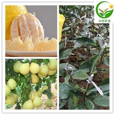 这是一张关于沙田柚苗的产品图片
