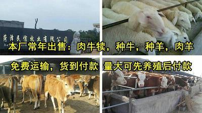 山东菏泽绵羊 80-110斤