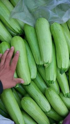 山东聊城绿皮西葫芦 0.4~0.6斤 西葫芦 绿皮西葫芦