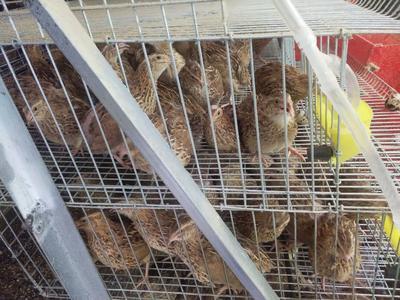 广西河池黄羽鹌鹑蛋 箱装 食用