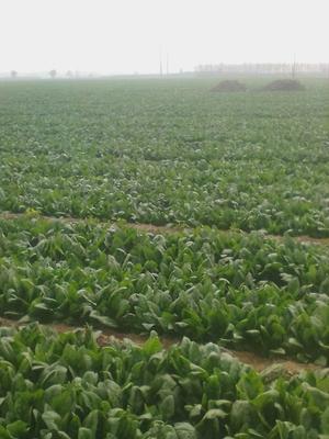 河北邯郸大叶菠菜 25~30cm