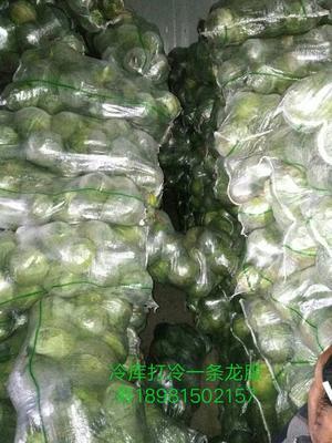 四川凉山中甘21甘蓝 1.5~2.0斤