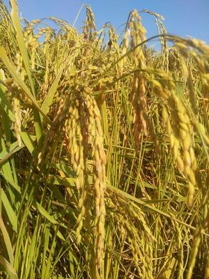 黑龙江哈尔滨稻花香二号大米 一等品 非有机大米 晚稻