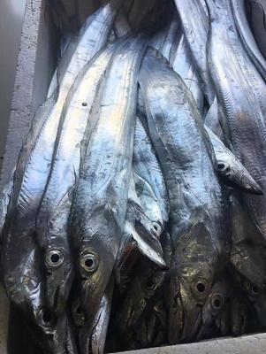 浙江宁波东海带鱼 0.5公斤以下 野生