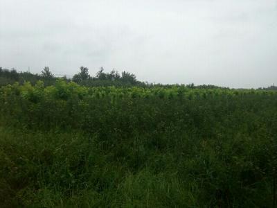 山东烟台矮化红富士苹果苗 1.5~2米